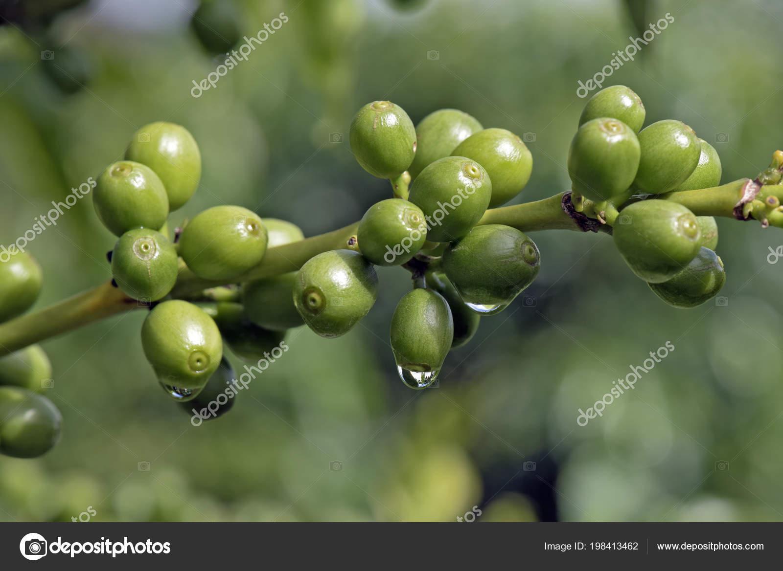 Green Coffee Beans Plant Water Drops Rain Farm State Sao Stock