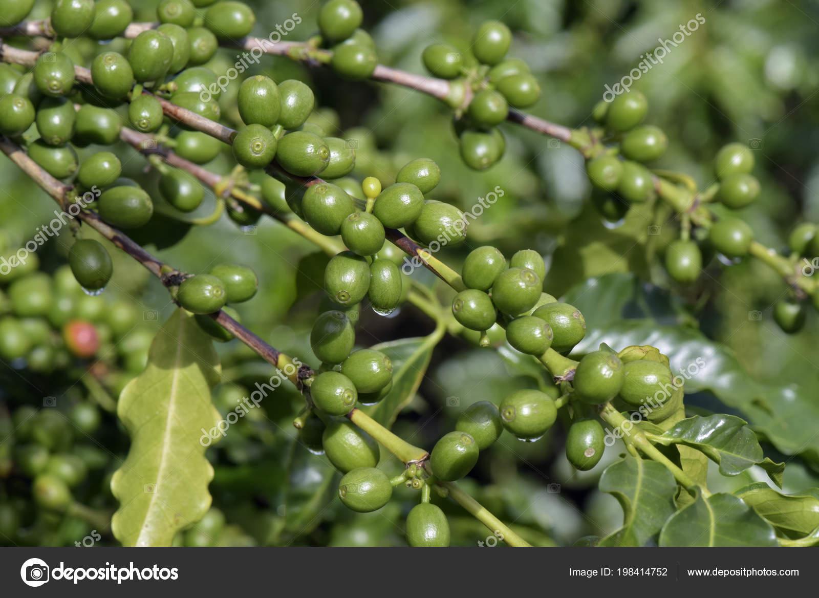 Green Coffee Beans Plant Farm State Sao Paulo Brazil Stock Photo