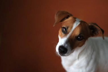 Close up portrait of cute Jack Russell Terrier dog