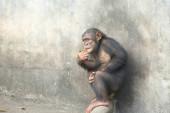 Csimpánz majom ül a bejelentkezési állatkertben