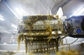 Seaweed is being processed in special machine before canning for sale