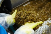 Rukavici lidské ruce hromadu salát z mořských řas, které jsou připraveni být konzervy na prodej