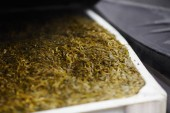 Pure seaweed in large container ready to be cooked and canned for sale
