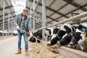 Mladý personál mlékárenské farmy stojí u dlouhé řady dojnic za plotem a dává jim čerstvé seno k jídlu