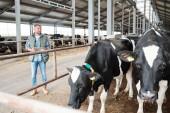 Důvěryhodný pracovník velké mlékárenské farmy s touchpadem stojící u kravína a dívající se na černobílé dojnice