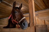 Fotografie Head of young brown purebred racehorse standing in front of camera inside barn at rancho or stable