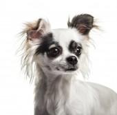 Pes Chihuahua, 2 roky staré, bílé pozadí