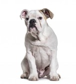 Photo French Bulldog, 5 months old, sitting against white background