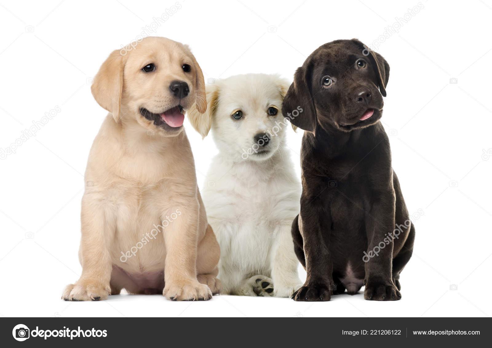 Groups Dogs Labrador Puppies Puppy Chocolate Labrador Retriever