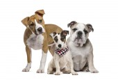 Fotografie Americký stafordšírský teriér štěně, anglický buldok štěně, štěně Jack Russell teriér s jiného než károvanou šálu, před bílým pozadím
