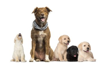 Groups of dogs, Labrador Puppies, Labrador Australian Shepherd crossbreed dog, in front of white background