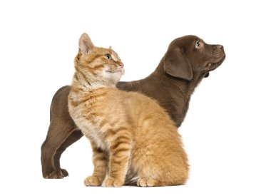 Labrador Retriever Puppy and Ginger cat, in front of white background