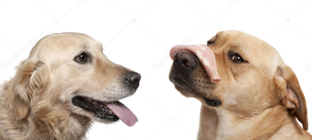 Close-up of Labrador Retriever, 2 years old, with Mortadella on his nose, Close-up of Labrador retriever, in front of white background