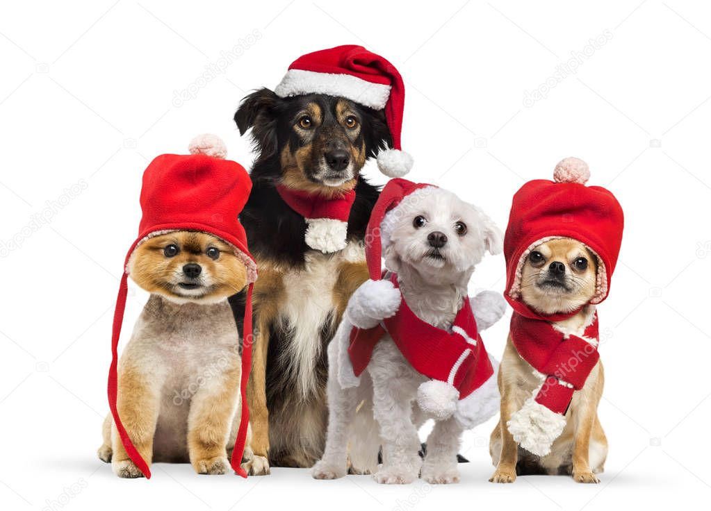 Border collie with christmas hat and scarf, Maltese wearing Santa outfit, Groomed Pomeranian dog sitting and wearing a red bonnet, Chihuahua wearing christmas hat and scarf, in front of white background