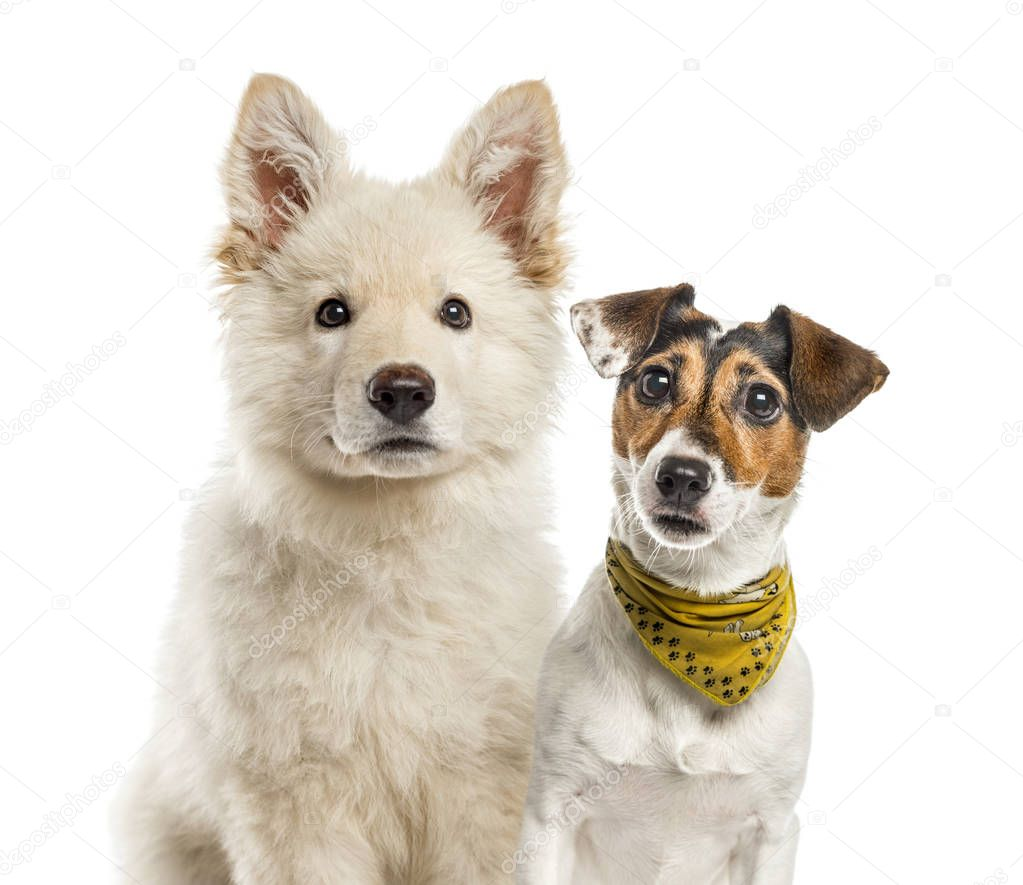 Jack Russell Terrier, White Swiss Shepherd puppy, in front of white background
