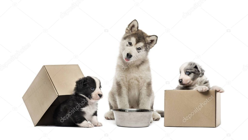 Alaskan Malamute puppy, Crossbreed puppies, in front of white background