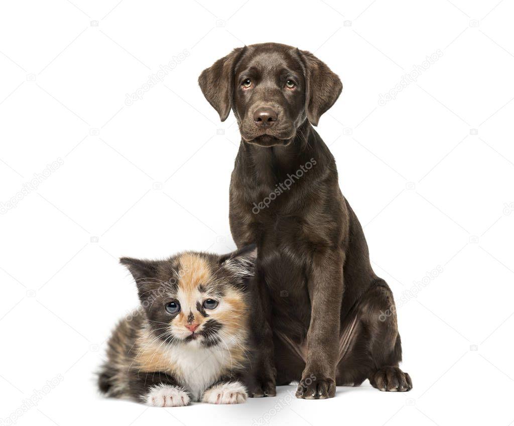 Puppy Labrador Retriever sitting, European Shorthair kitten, in front of white background
