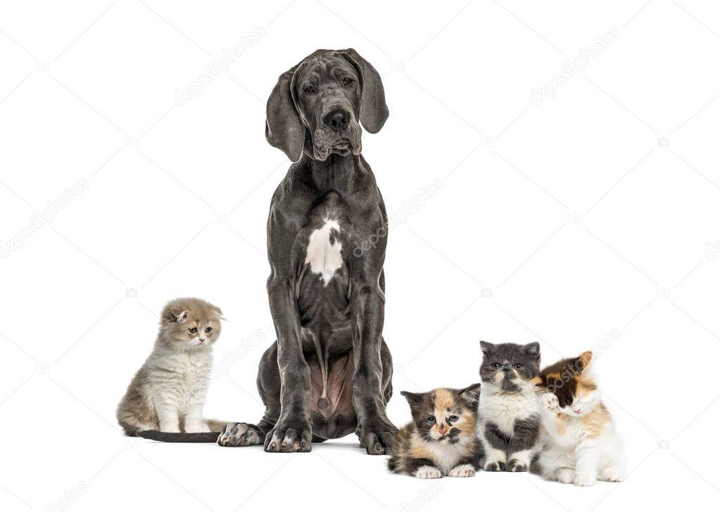 Great Dane sitting, Exotic Shorthair kitten, European Shorthair kitten, Highland straight kitten, in front of white background