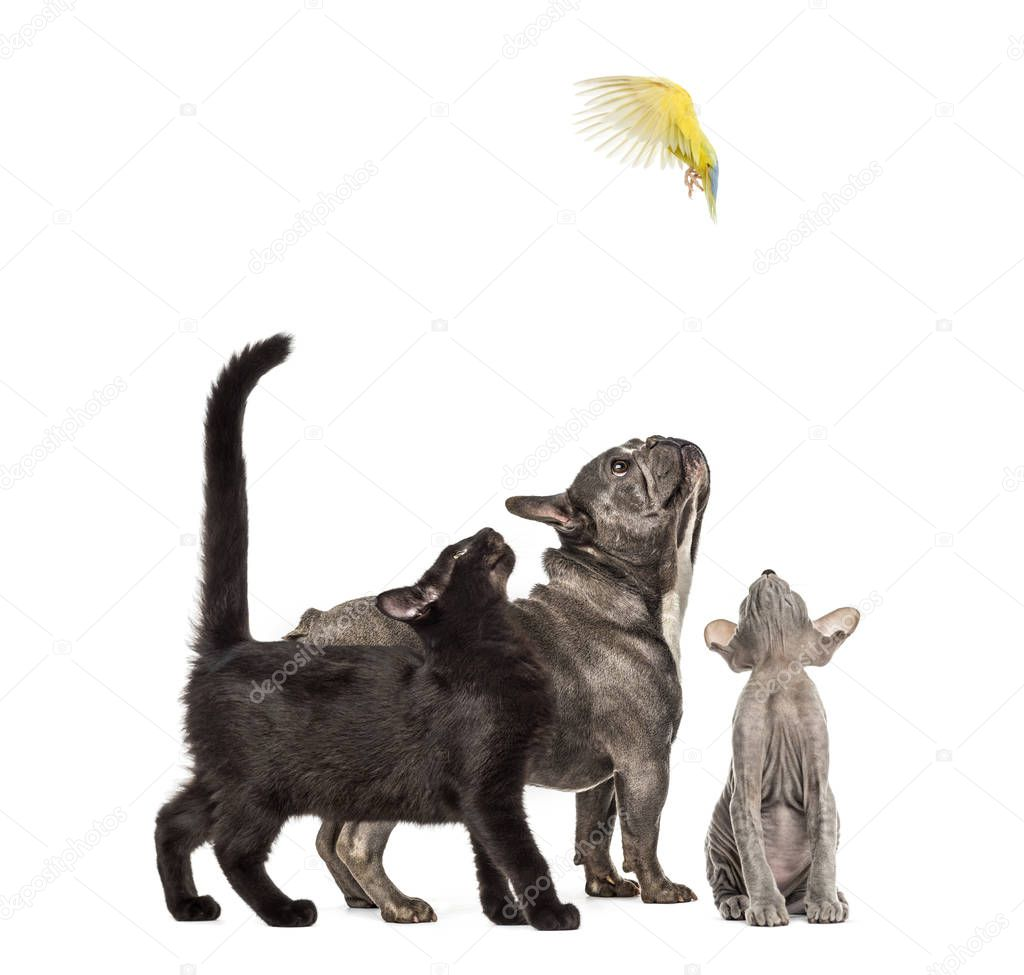 Mixed-breed black cat, Peterbald kitten, French bulldog, Rosy-faced Lovebird flying, Agapornis roseicollis, in front of white background