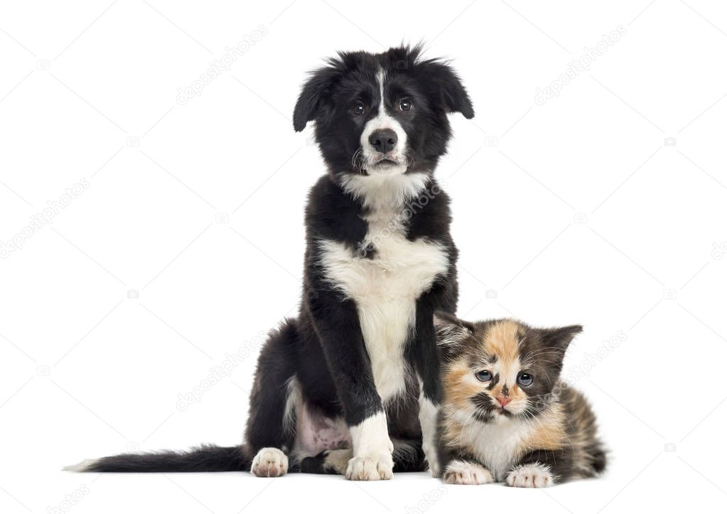 Puppy border collie and European Shorthair kitten, in front of white background