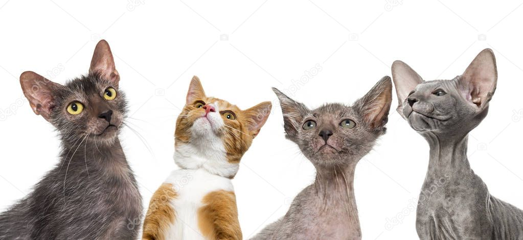 Ginger mixed-breed cat, Lykoi cat, Kitten Lykoi cat and Peterbald kitten, in front of white background