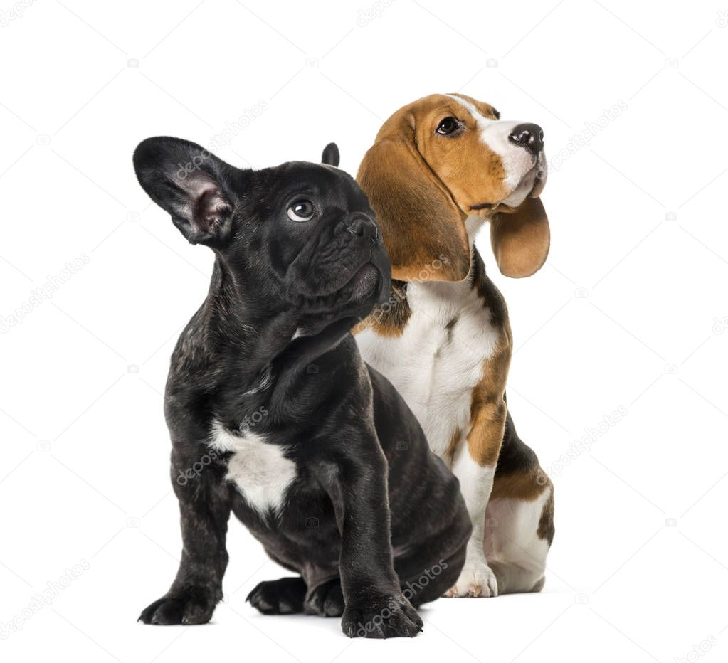 Young Beagle sitting with Black French bulldog puppy, looking up , in front of white background