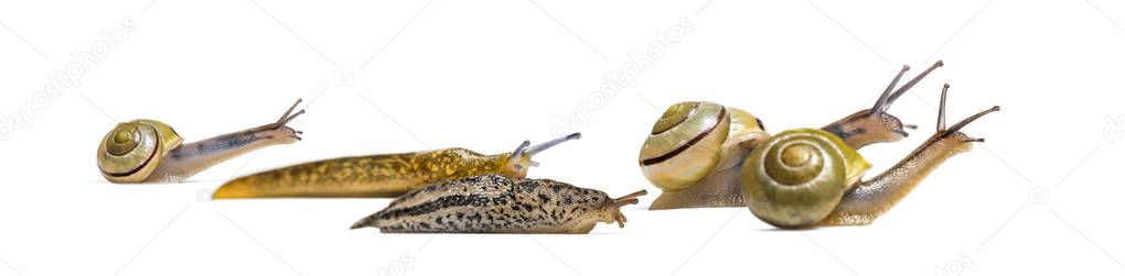 Slugs, Limax maximus, and Snail, Capea Nemoralis, together, in front of white background