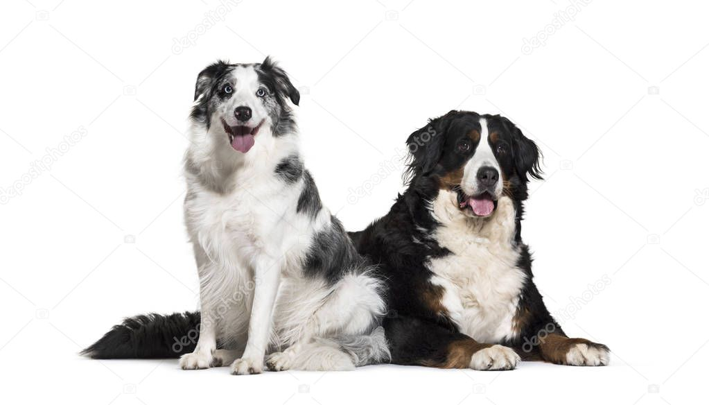 Border Collie, 3 years old, and Bernese Mountain Dog, 5 years old, in front of white background