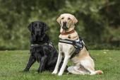 Vakvezető kutya, Labrador Vizsla, 7 és 2 éves, Park