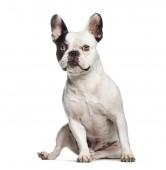 Francia Bulldog, 2 éves, fehér háttere előtt ülve