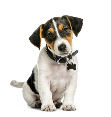 Jack Russell Terrier, 2 months old, sitting in front of white ba