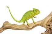 Chameleon, chameleon chameleon na větvi před bílou zadní