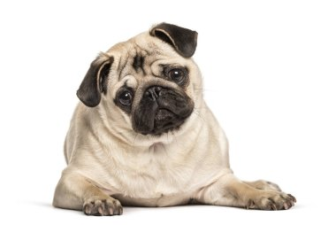Pug looking at camera against white background