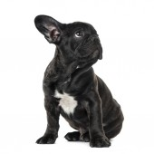 Photo Puppy Black French bulldog sitting and looking away , isolated o