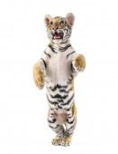 Két hónapos tigris kölyök csapott fehér háttér