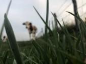 Die Montbeliarde-Kuh ist eine Rasse roter Rattenrinder