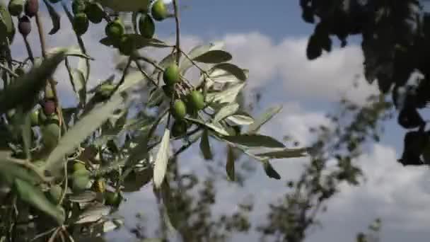 zelené olivy na větvích větve, přesunuté silným větrem