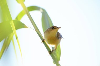 Marsh warbler (Acrocephalus palustris) sits on a green cane stalk curving up on an almost white sky background.