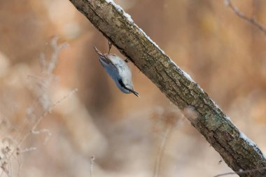 Eurasian nuthatch (wood nuthatch) sits on a branch upside down with sunflower seeds in its beak (in the forest park).