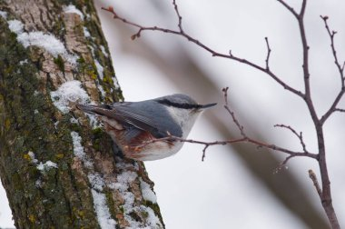 Eurasian nuthatch (wood nuthatch) sits on a snowy tree trunk in a forest park on a cloudy day.