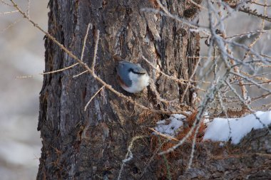Eurasian nuthatch (wood nuthatch) sits (hangs) on a larch trunk in a forest park on the first day of winter.