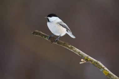 Bird - Willow tit sitting on a branch covered with lichen in the