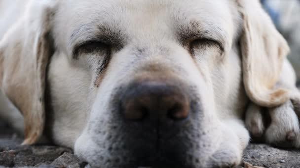 Muzzle of an adult labrador dog sleeping on the floor