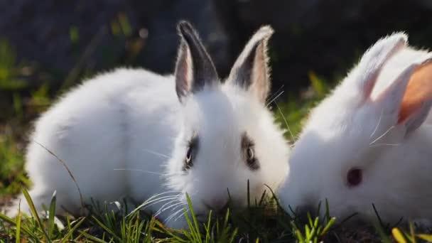zwei kleine weiße Kaninchen auf grünem Gras im Frühling