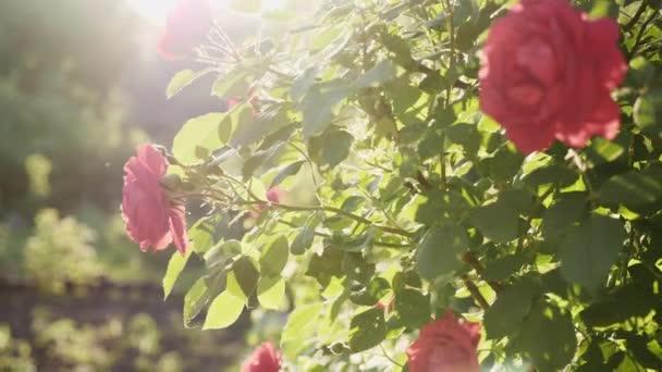 Virágzó bokor egy vörös rózsa