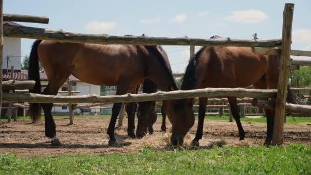 Hnědý plnokrevných koní ve výběhu venku