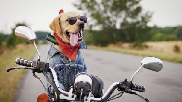 A Labrador dog wearing sunglasses is sitting on a motorcycle. A dog biker awaits the owner sitting and a motorcycle outdoors. Middle shot