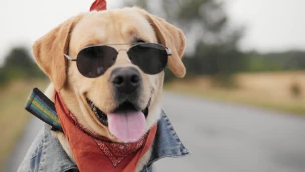 Portrét psa labradora biker v sluneční brýle pózuje na kameru