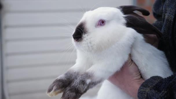 ein Mann hält ein Himalaya-Kaninchen in seinen Händen
