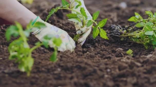 Sraženin na půdě se sadbou rajčat